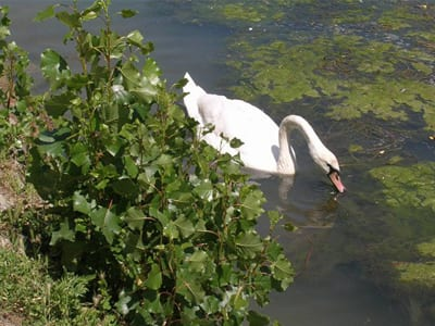 nature et cigne sur la Marne